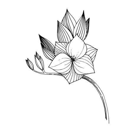 Vector Freesia floral botanical flower. Black and white engraved ink art. Isolated freesia illustration element. Illusztráció