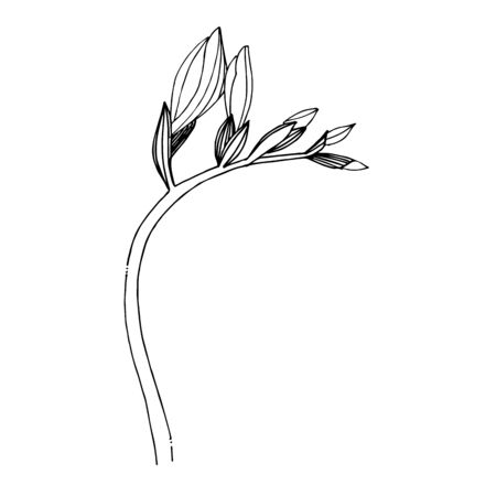 Vector Freesia floral botanical flower. Black and white engraved ink art. Isolated freesia illustration element. Stock fotó - 134329338