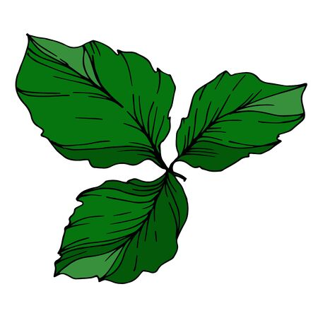 Vector Blackberry leaves. Black and white engraved ink art. Isolated berry illustration element.