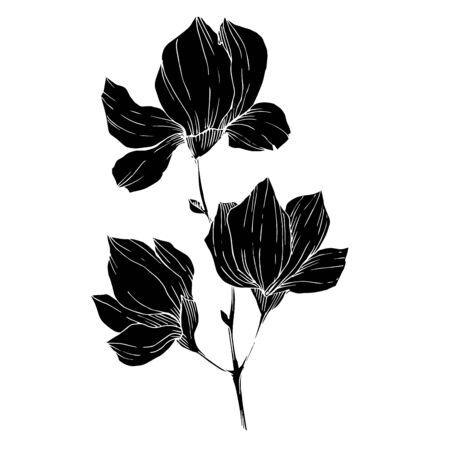 Vector Magnolia floral botanical flowers. Black and white engraved ink art. Isolated magnolia illustration element. Standard-Bild - 133558825