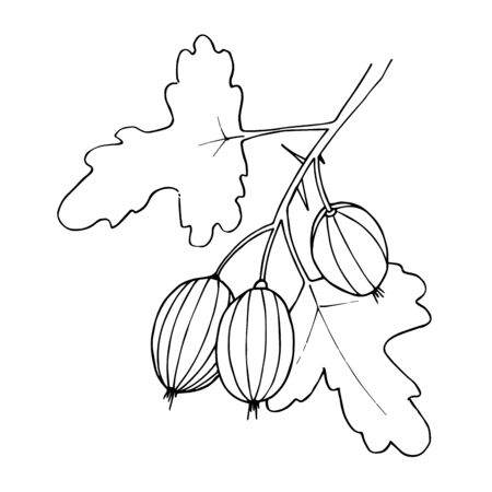 Vector Gooseberry healthy food. Black and white engraved ink art. Isolated berry illustration element.