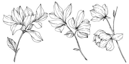 Vector Magnolia floral botanical flowers. Black and white engraved ink art. Isolated magnolia illustration element. Illusztráció