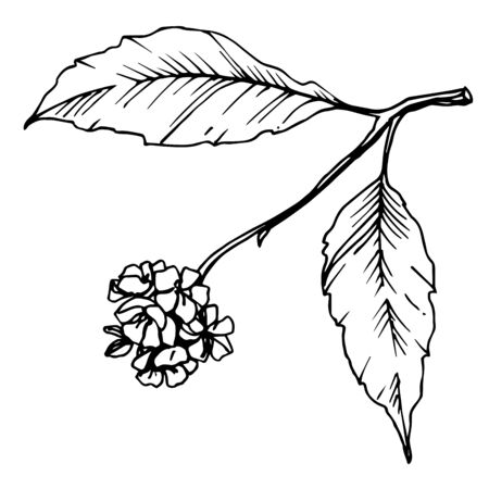 Vector Cherry blossom branch. Black and white engraved ink art. Isolated berry illustration element.