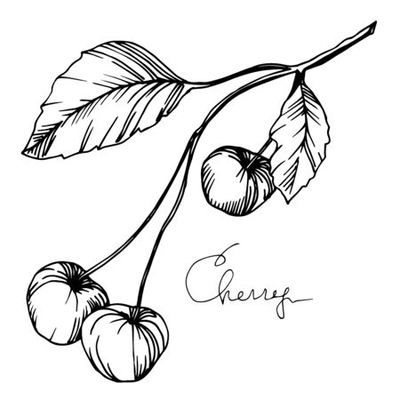 Vector Cherry healthy food. Black and white engraved ink art. Isolated berry illustration element. Illusztráció