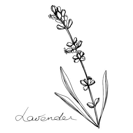 Vector Lavender floral botanical flowers. Black and white engraved ink art. Isolated lavender illustration element.