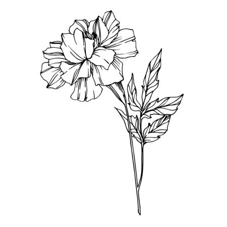 Vector Marigold floral botanical flowers. Black and white engraved ink art. Isolated tagetes illustration element. Vettoriali