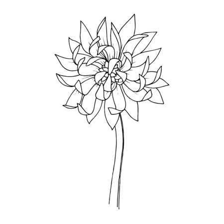 Vector Chrysanthemum floral botanical flowers. Black and white engraved ink art. Isolated flower illustration element.