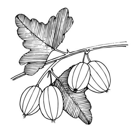 Vektor Stachelbeere gesundes Essen. Schwarz-weiß gravierte Tinte Art.-Nr. Isoliertes Beeren-Illustrationselement. Vektorgrafik
