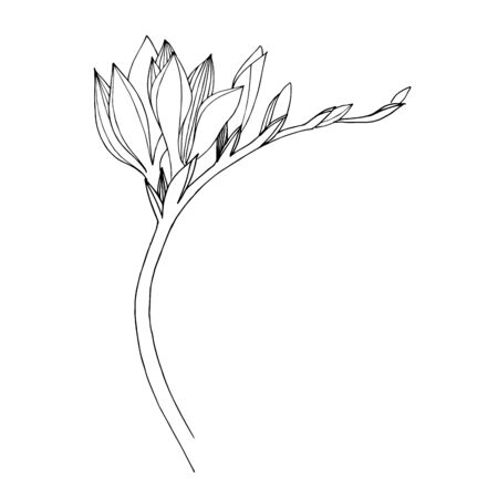 Vector Freesia floral botanical flower. Black and white engraved ink art. Isolated freesia illustration element. 版權商用圖片 - 135041078