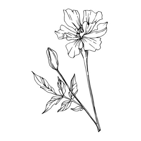 Vector Marigold floral botanical flowers. Black and white engraved ink art. Isolated tagetes illustration element. 版權商用圖片 - 135041086
