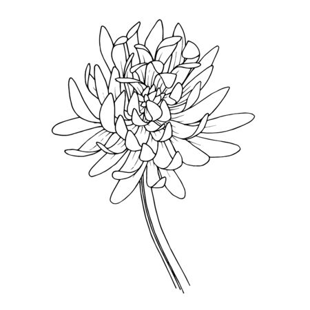Vector Chrysanthemum floral botanical flowers. Black and white engraved ink art. Isolated flower illustration element. 版權商用圖片 - 135040935