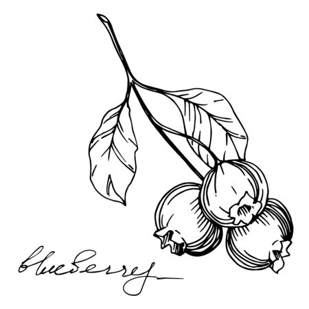 Vector Blueberry healthy food. Black and white engraved ink art. Isolated berry illustration element.