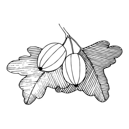 Vector Gooseberry healthy food. Black and white engraved ink art. Isolated berry illustration element. 版權商用圖片 - 135039026