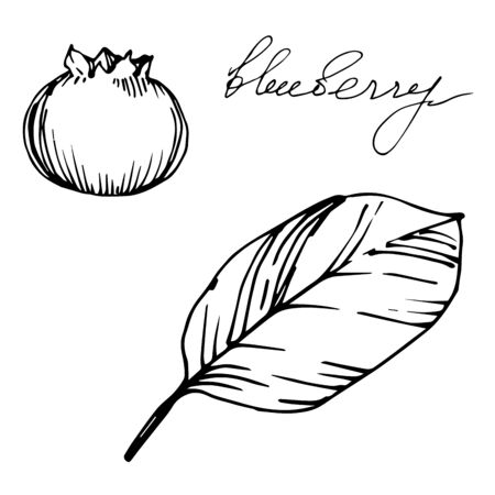 Vector Blueberry healthy food. Black and white engraved ink art. Isolated berry illustration element. 版權商用圖片 - 135039116