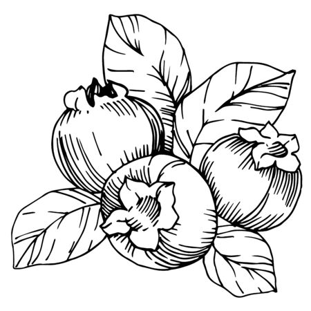 Vector Blueberry healthy food. Black and white engraved ink art. Isolated berry illustration element. 版權商用圖片 - 135039080