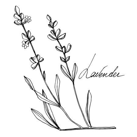 Vector Lavender floral botanical flowers. Black and white engraved ink art. Isolated lavender illustration element. 版權商用圖片 - 135038929