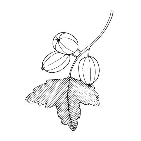 Vektor Stachelbeere gesundes Essen. Schwarz-weiß gravierte Tinte Art.-Nr. Isoliertes Beeren-Illustrationselement.
