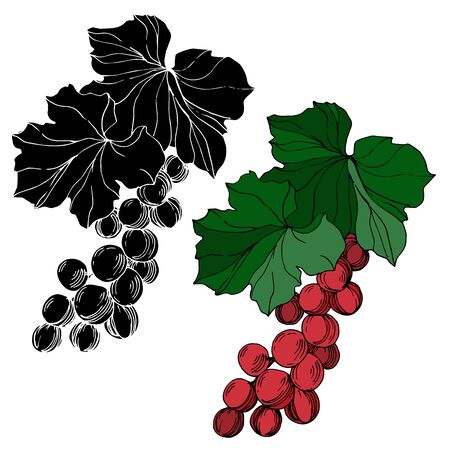Vector Grape berry healthy food. Black and white engraved ink art. Isolated grape illustration element. 版權商用圖片 - 135042752