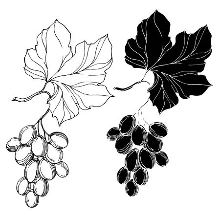 Vector Grape berry healthy food. Black and white engraved ink art. Isolated grape illustration element. Illusztráció