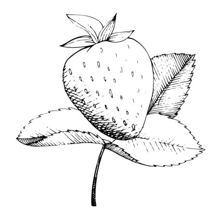 Vector Strawberry healthy food. Black and white engraved ink art. Isolated berry illustration element. Ilustracja