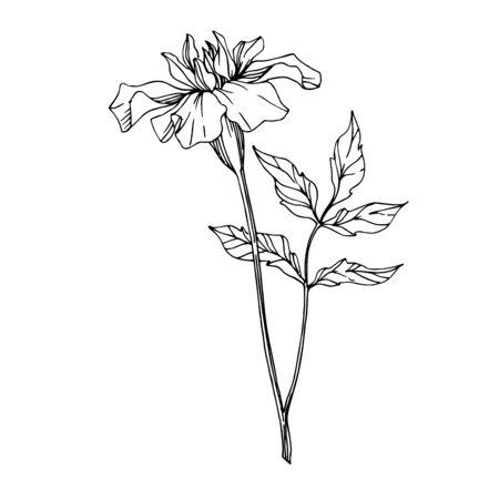Vector Marigold floral botanical flowers. Black and white engraved ink art. Isolated tagetes illustration element. Иллюстрация