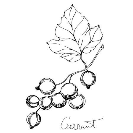 Vektor Johannisbeere gesundes Essen. Schwarz-weiß gravierte Tinte Art.-Nr. Isoliertes Beeren-Illustrationselement. Vektorgrafik
