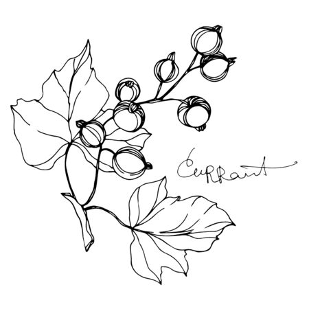 Vector Currant healthy food. Black and white engraved ink art. Isolated berry illustration element.