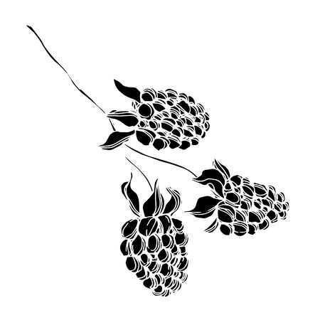 Blackberry healthy food. Black and white engraved ink art. Isolated blackberry illustration element.