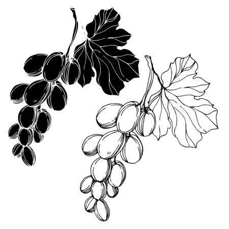 Vektor Traubenbeere gesundes Essen. Schwarz-weiß gravierte Tinte Art.-Nr. Isolierte Trauben Illustrationselement. Vektorgrafik