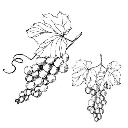 Alimento sano della bacca dell'uva di vettore. Inchiostro inciso in bianco e nero art. Elemento di illustrazione uva isolato. Vettoriali