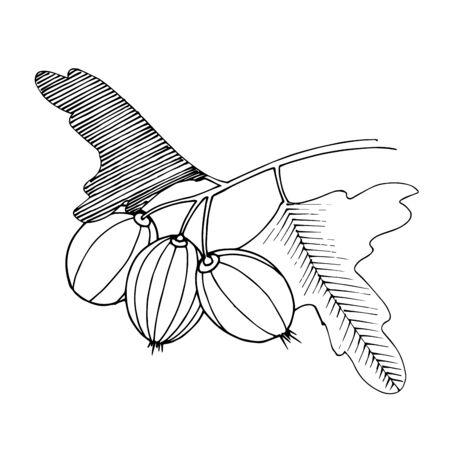 Vector Gooseberry branch. Black and white engraved ink art. Isolated gooseberry illustration element.