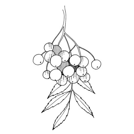 Vector Sorbus branch with berry and leaves. Black and white engraved ink art. Isolated rowan illustration element. Ilustracja