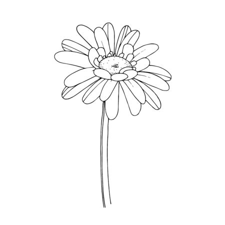 Vector gerbera floral botanical flower. Black and white engraved ink art. Isolated gerbera illustration element. Vecteurs