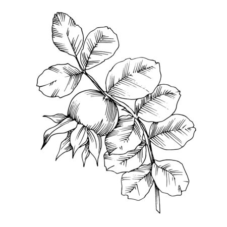Rose hip branch with fruit botanical foliage. Black and white engraved ink art. Isolated rosehip illustration element.