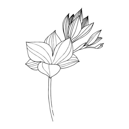 Vector Freesia floral botanical flower. Black and white engraved ink art. Isolated freesia illustration element. Vectores
