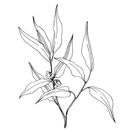 Branche d'Eucalyptus de vecteur. Art d'encre gravé en noir et blanc. Élément d'illustration d'eucaliptus isolé.