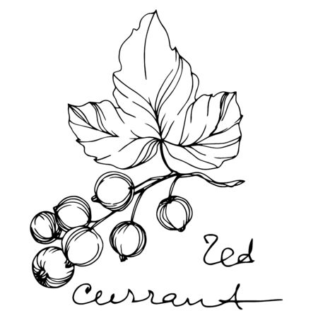 Vector Currant healthy food. Black and white engraved ink art. Isolated strawberry illustration element.