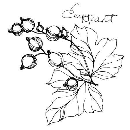 Alimentation saine de cassis de vecteur. Art d'encre gravé en noir et blanc. Élément d'illustration fraise isolé.