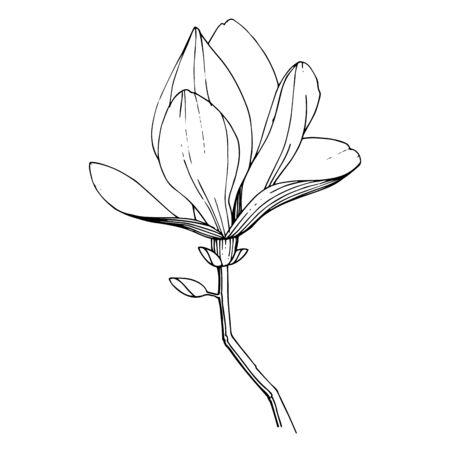 Vector magnolia floral botanical flower. Black and white engraved ink art. Isolated magnolia illustration element.