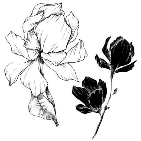 Vector Magnolia floral botanical flowers. Black and white engraved ink art. Isolated magnolia illustration element. Vetores