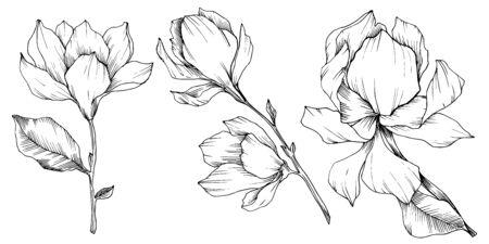 Vector Magnolia floral botanical flowers. Black and white engraved ink art. Isolated magnolia illustration element. Stock fotó - 134269110