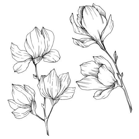 Vector Magnolia floral botanical flowers. Black and white engraved ink art. Isolated magnolia illustration element. Vecteurs