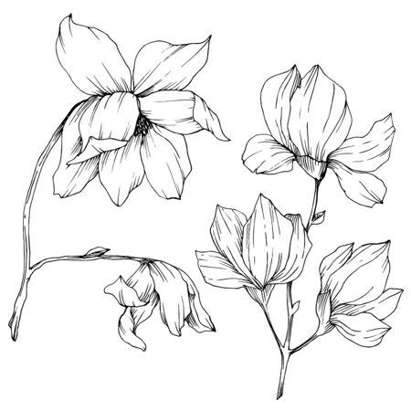 Vector Magnolia floral botanical flowers. Black and white engraved ink art. Isolated magnolia illustration element. Stock fotó - 134269117