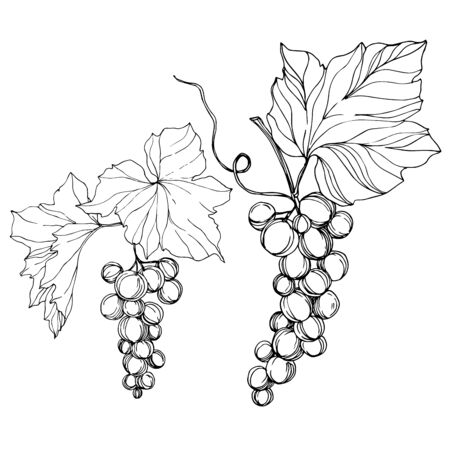 Vector Grape berry healthy food. Black and white engraved ink art. Isolated grape illustration element on white backgraund.