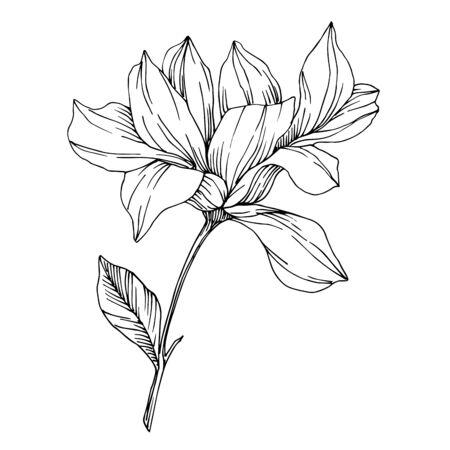 Vector flores botánicas florales de Magnolia. Arte de tinta grabada en blanco y negro. Elemento de ilustración de magnolia aislado. Ilustración de vector