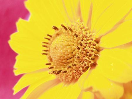 stami: Un fiore giallo con stami Archivio Fotografico