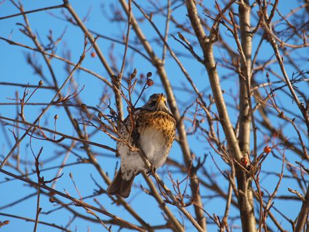 Fieldfare on a tree photo