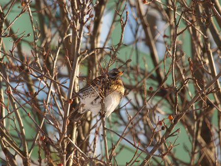 Fieldfare on a tree Stock Photo - 6406127