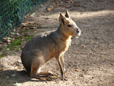 patagonian: Patagonian cavy, Wroclaw, Poland