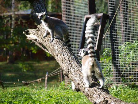 catta: Catta lemurs, Wroclaw, Poland